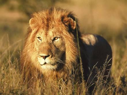 reisethemen_suedliches-afrika_suedafrika-safari-kruger-loewe.jpg