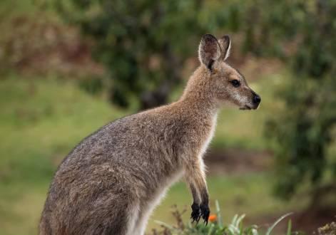 Ein süßes Rotnacken-Wallaby