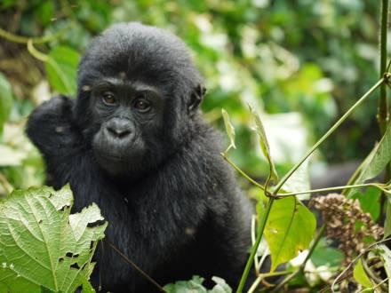 Gorillababy im Bwindi-Regenwald.