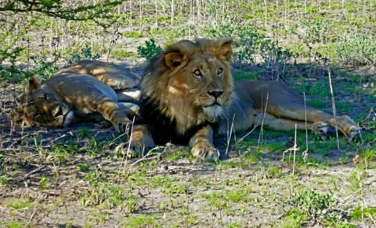 2 von den insgesamt 8 Löwen gesichtet