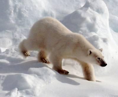 Eisiges Zuhause in der Arktis