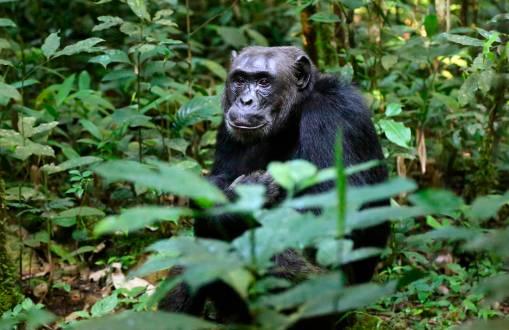 Wir hatten das Glück die Schimpansen zum Greifen nah zu haben.