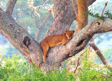 Ein auf Bäume kletternder Löwe im Queen Elisabeth NP