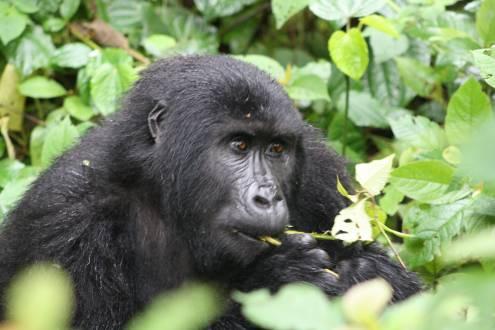 Gorilla-Ostafrika-Aufnahme-Lukas-G