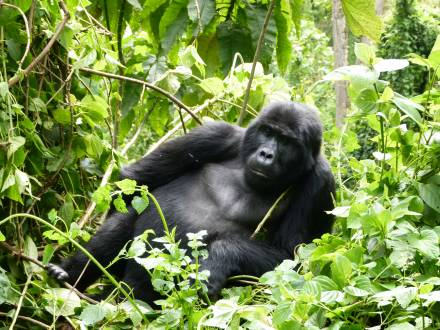 service_reiseberichte_uganda-gorilla-safari-bwindi-gorilla.jpg