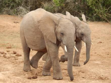 Dickhäuter im Addo Elephant Nationalpark