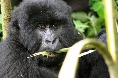 Gorilla knabbert an einem Ast