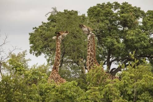 Krüger Nationalpark Giraffen