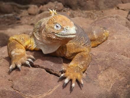 Ein Land Iguana auf den Galapagos Inseln.
