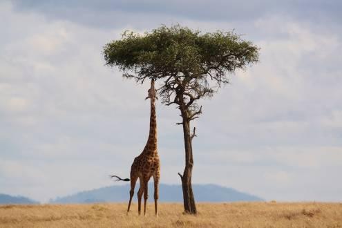 Giraffe beim Fressen am Baum
