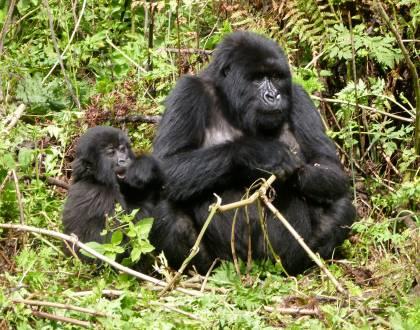 Zu Besuch bei den Berggorillas im Bwindi Nationalpark.