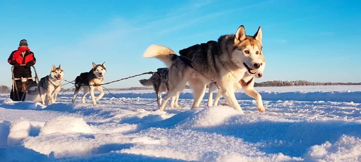 Unterwegs mit Husky und Schlitten in Finnland