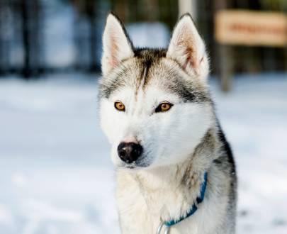 Intensive Erlebnisse mit den Huskys & der winterlichen Wildnis Finnlands.