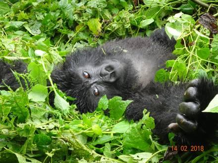 Gorilla im Nebelwald