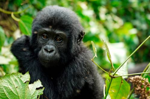 Gorilla Baby in Bwindi.