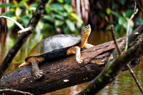 Kleine gepanzerte Bewohner im Tortuguero Nationalpark.