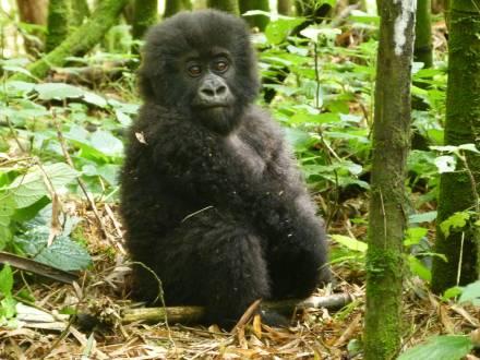 service_reiseberichte_ruanda-gorilla-trekking-gorillababy-ruanda.jpg