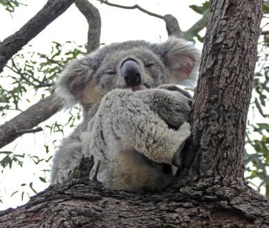Pelzige Baumbewohner Australiens – ist dieser Koala nicht süß?