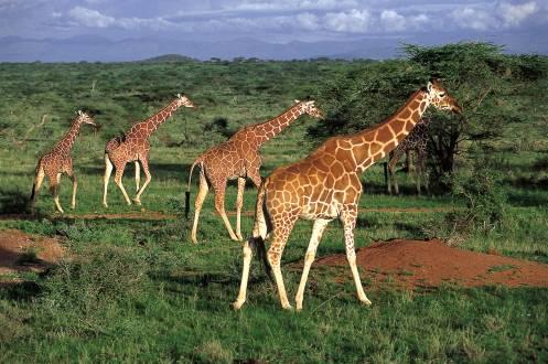 Giraffen im Samburu Nationalpark
