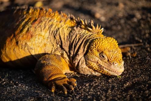 Landechse auf den Galapagos Inseln