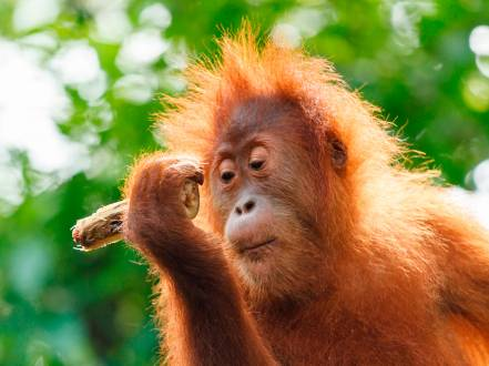 Wild lebende Orang Utans auf Borneo