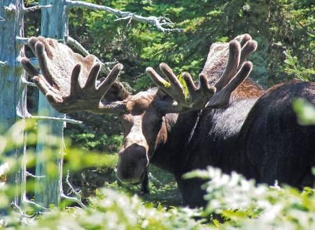 Elch in Alaska - die Tiere in der freien Natur zu erleben ist unvergesslich